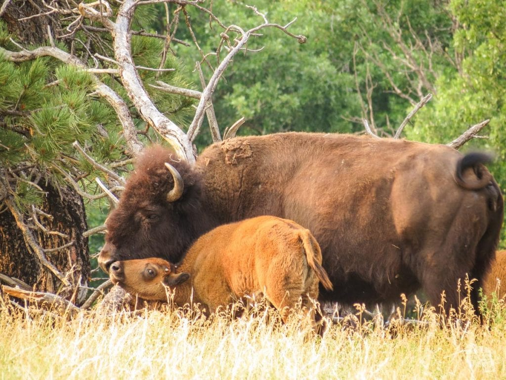 Bison and calf in Wind Cave National Park