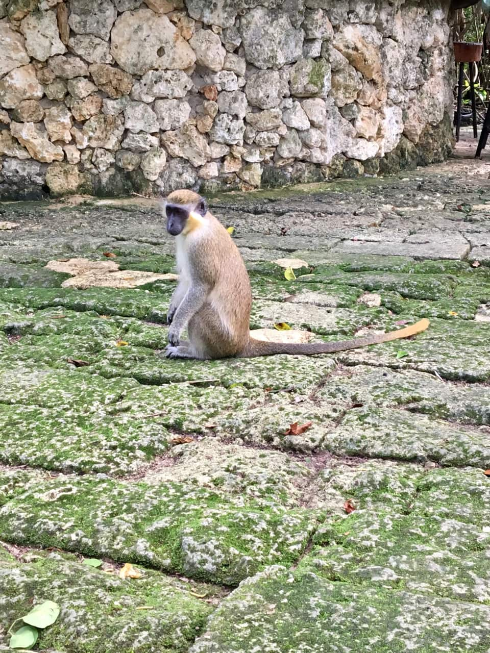 Green Monkey on Barbados, one of our favorite ports of the Southern Caribbean Cruise.
