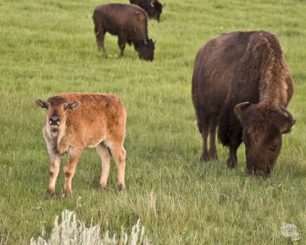 Among the bison in Yellowstone National Park - one of our favorite road trip stops.