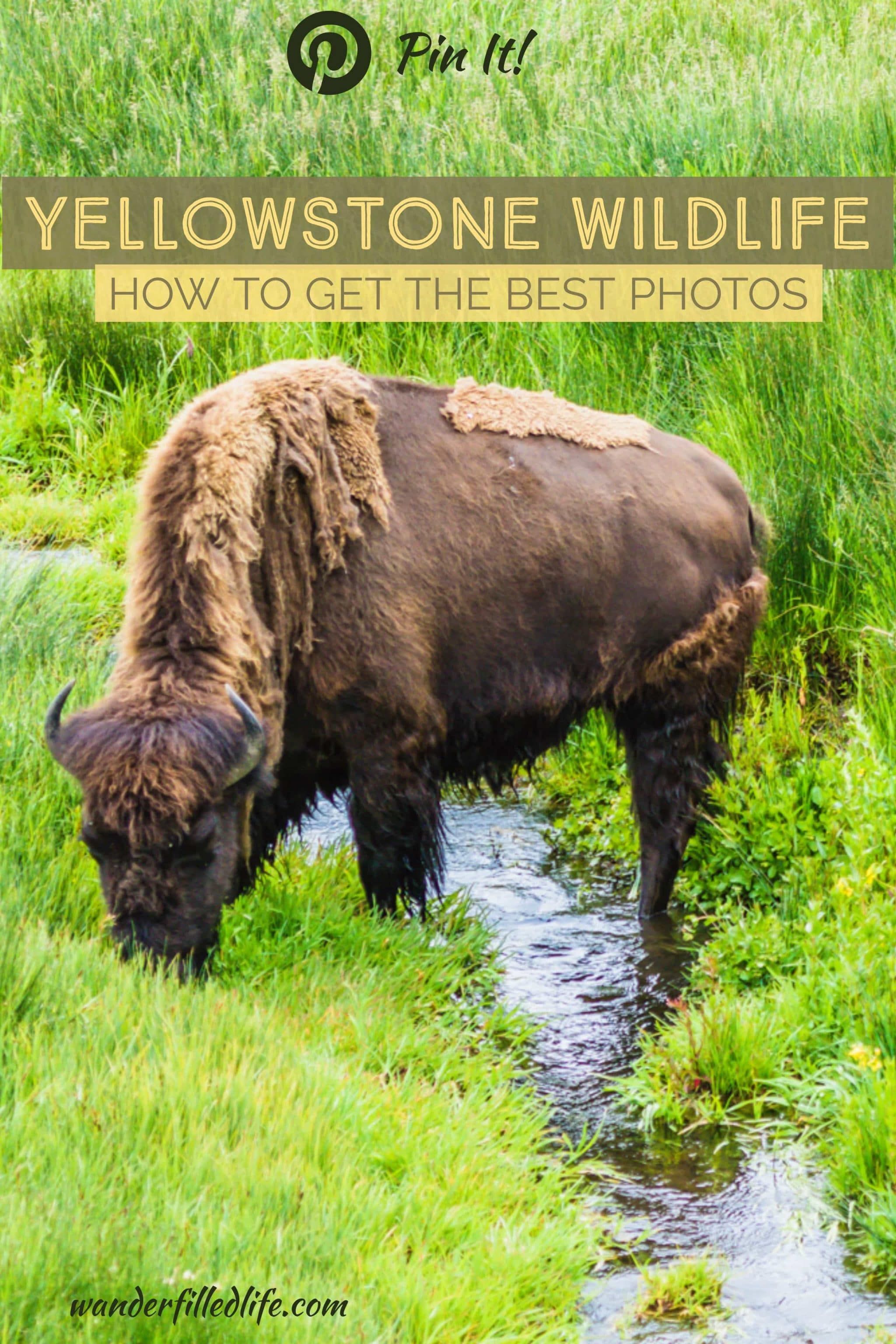 Finding Yellowstone wildlife can be a challenge unless you know where and, more importantly, when to look to spot your favorite critters.