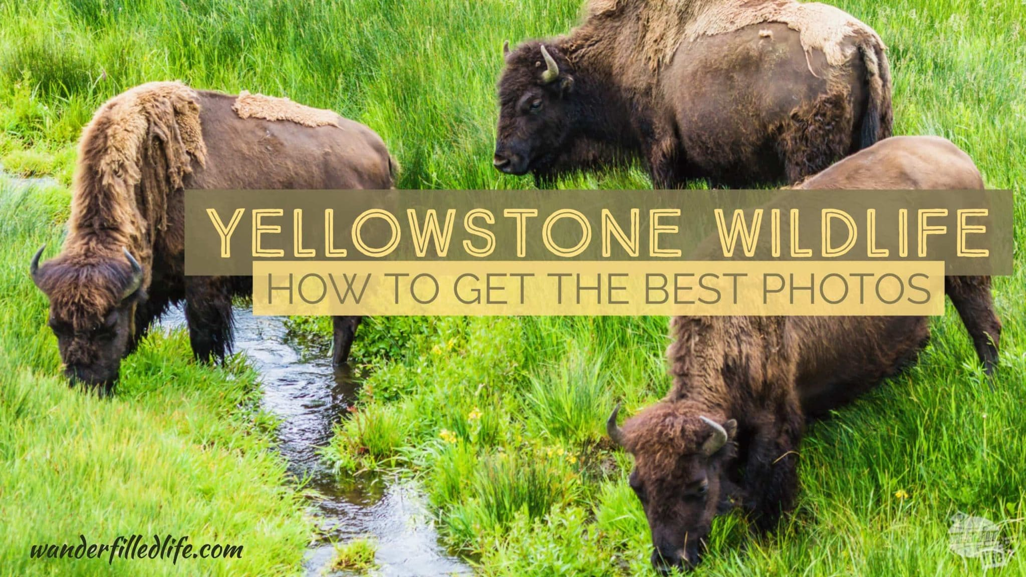 Finding and Photographing Yellowstone Wildlife