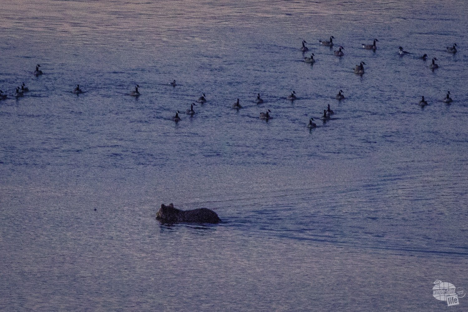 When's the last time you saw a grizzly bear swim a river?