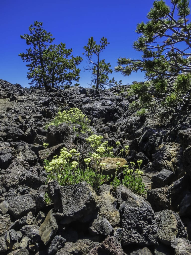 Trees and flowers in Craters of the Moon National Monument