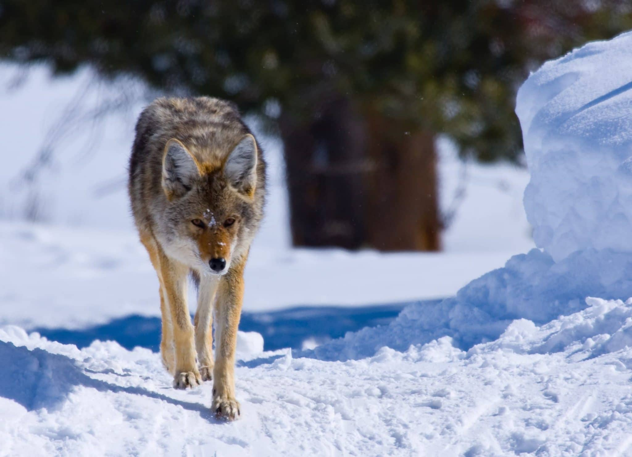 Coyote in the Snow in Yellowstone National Park