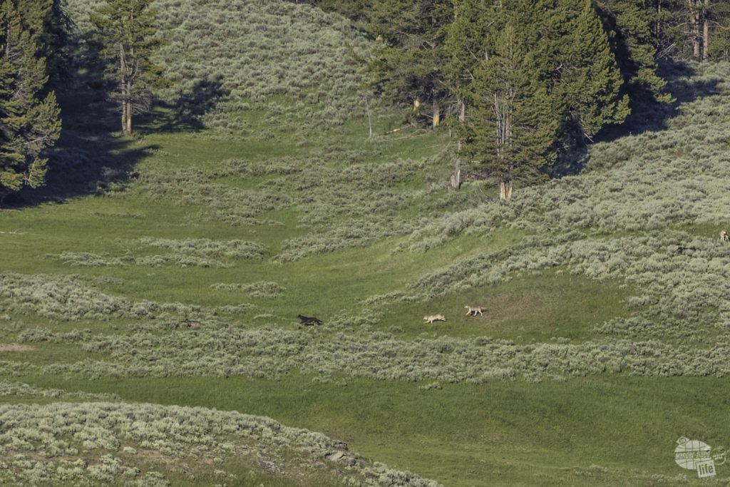 Wolves chasing elk at Yellowstone.