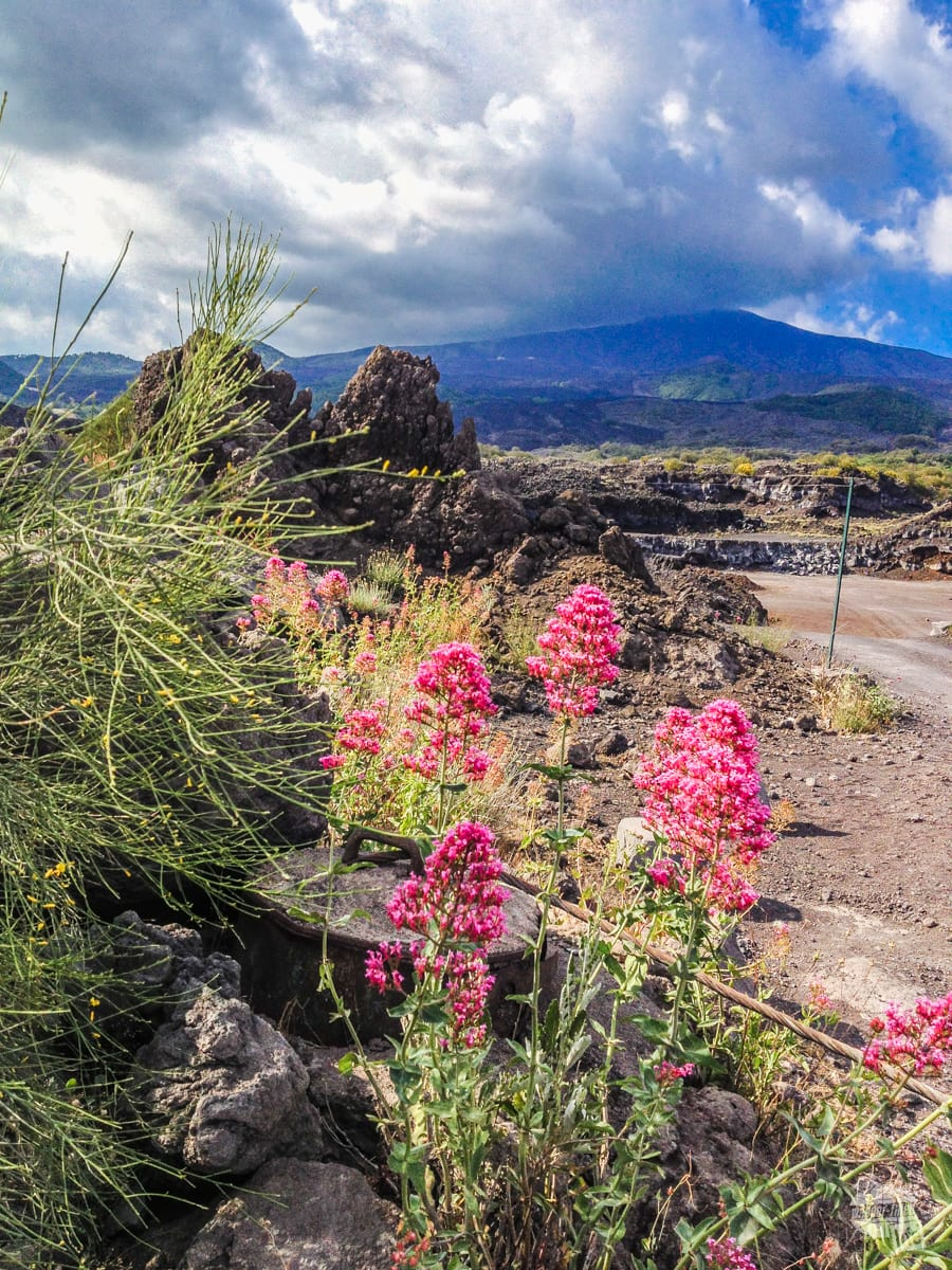 Flowers at the base of Mt. Etna