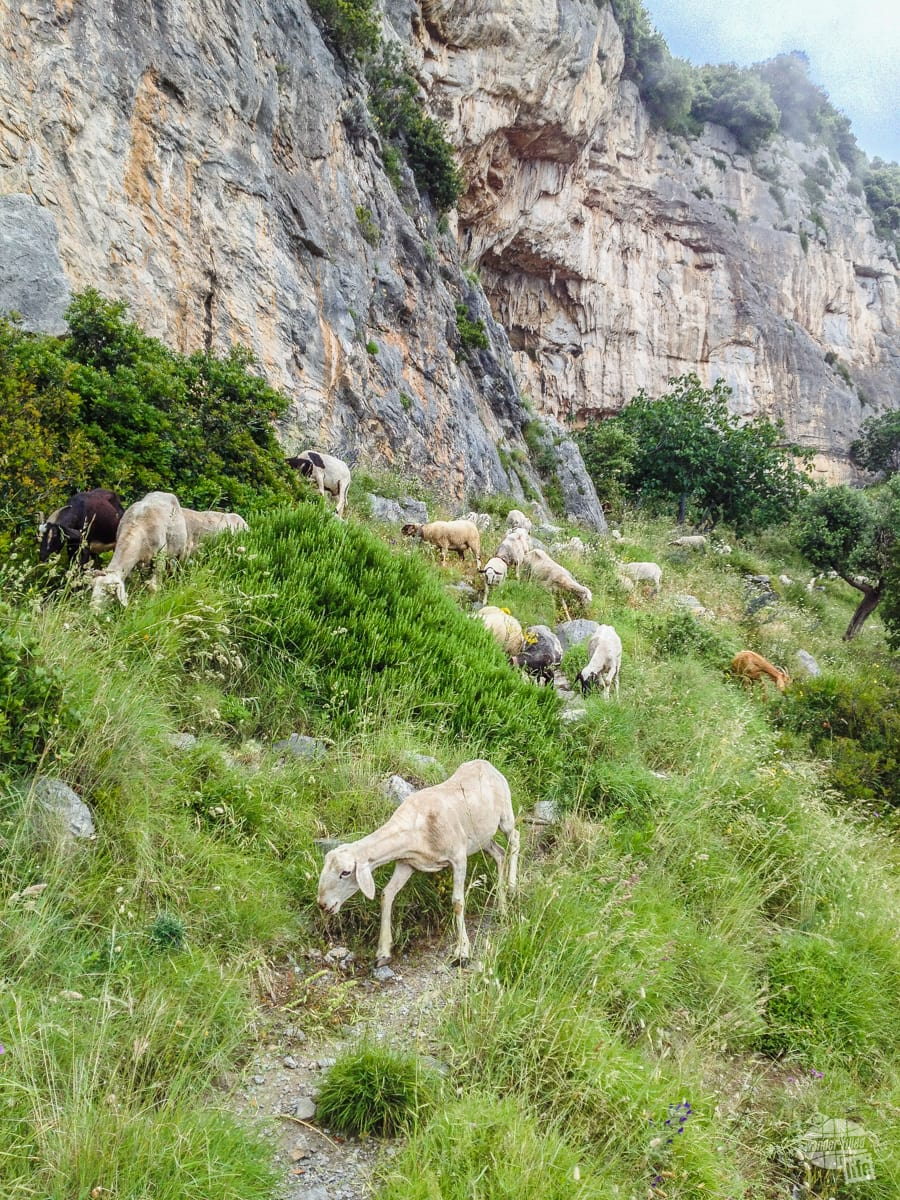 Goats on the Path of the Gods