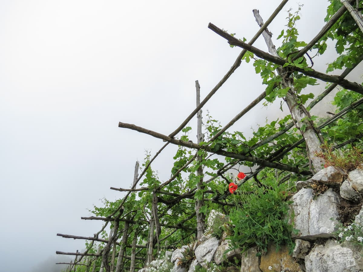 Vineyard on the Path of the Gods