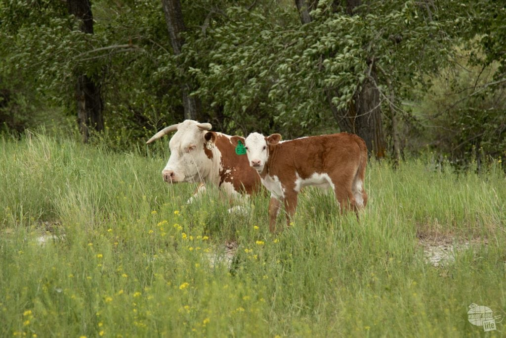 Calves at Grant-Kohrs Ranch NHS
