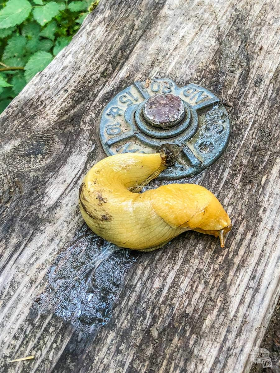 There were banana slugs all over the place on the west side of the Olympic Peninsula.