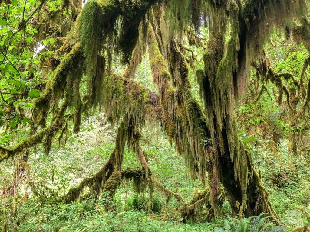 The Hall of Mosses is aptly named. There are so many large trees covered in moss.