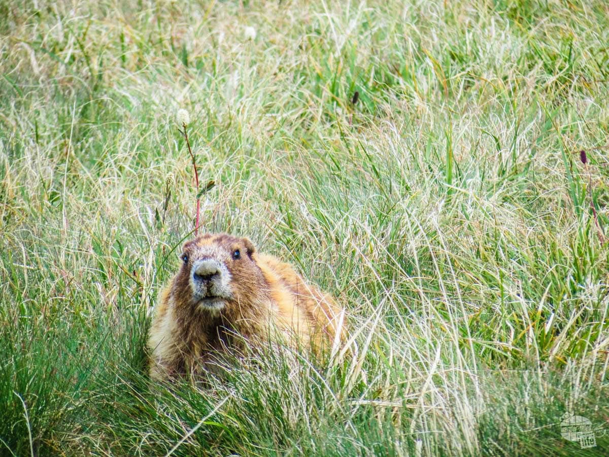 One of the unique species found on the Olympic Peninsula is the Olympic Marmot.