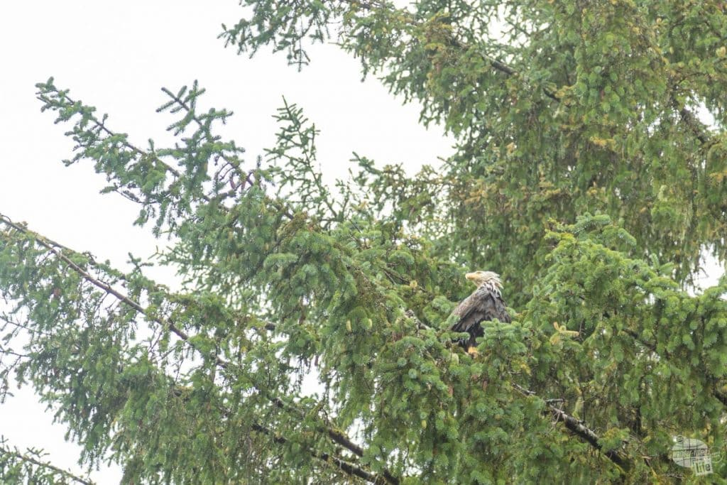 Wet Bald Eagle in Ketchikan