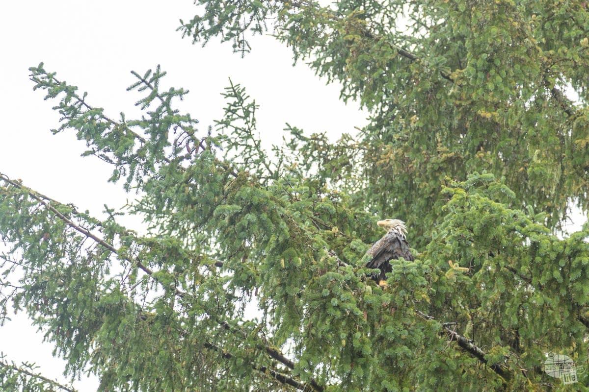 Wet Bald Eagle in Ketchikan