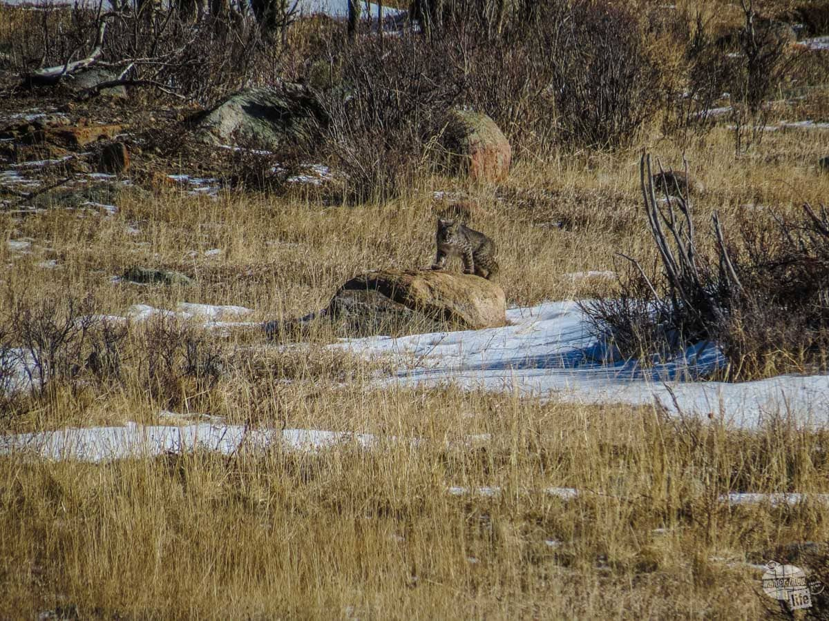 We spotted this bobcat in Rocky Mountain National Park.