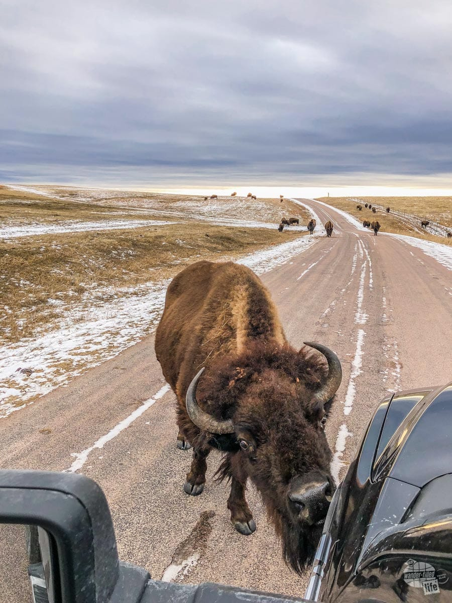Bison cleaning the salt off the truck.
