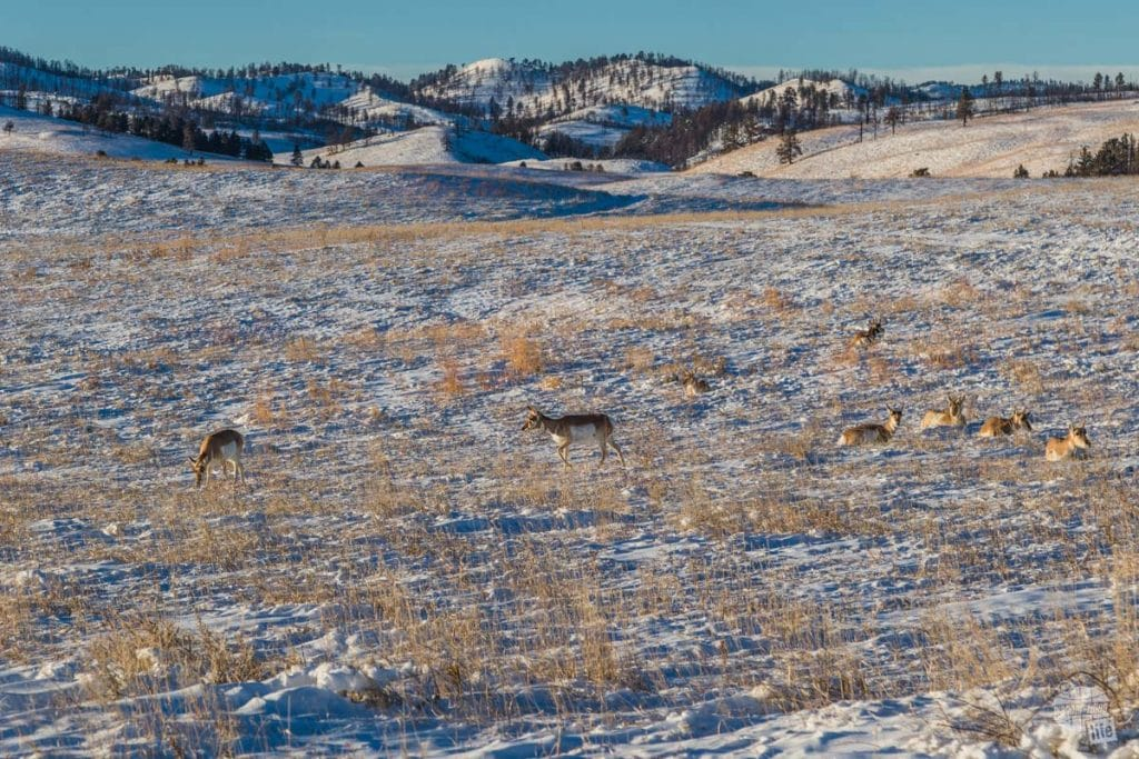 Pronghorn Antelope hunkered down in the snow in Custer State Park