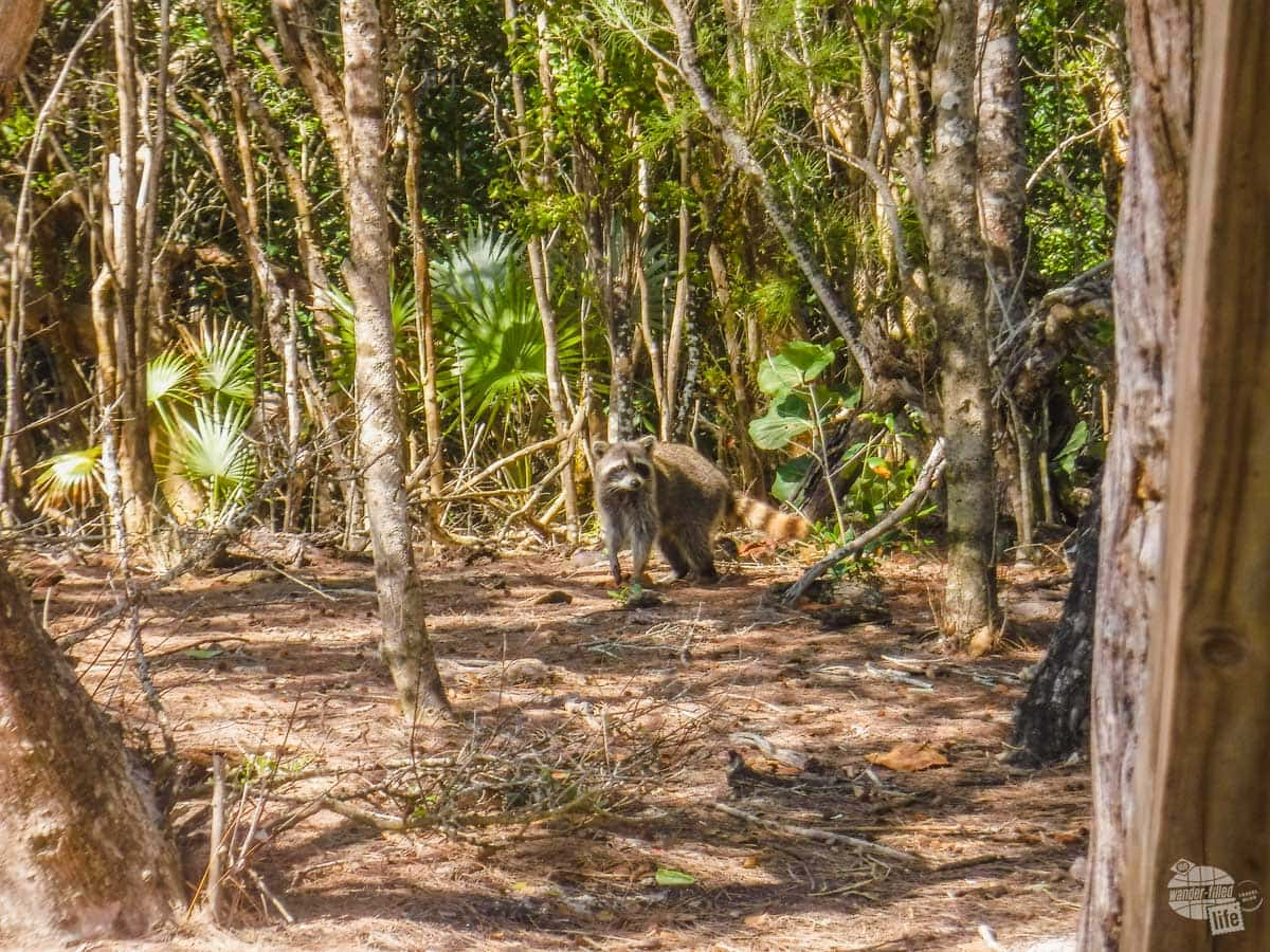 A raccoon looking for scraps at Gold Rock Beach