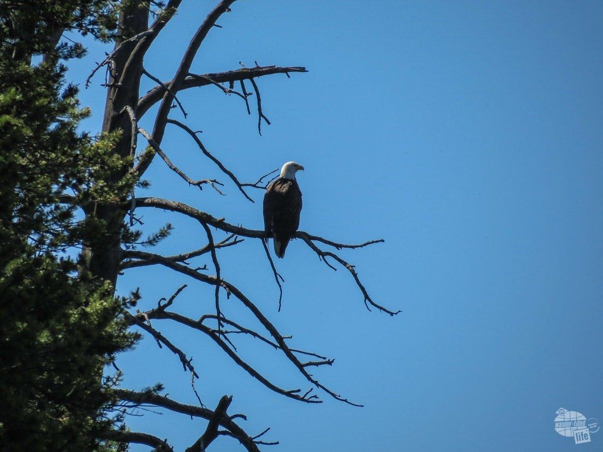 Bald Eagle at Shoshone Lake