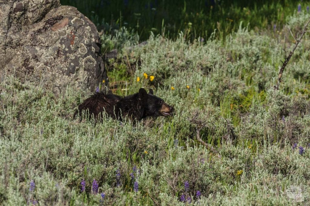Black Bear on Blacktail Plateau