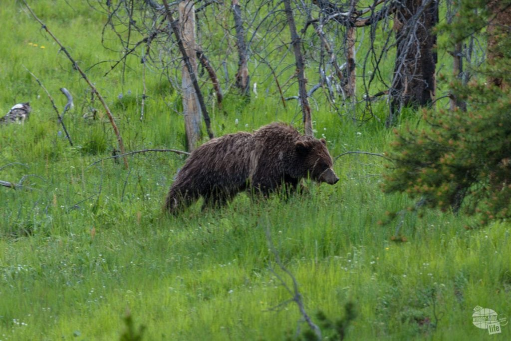 A grizzly bear wandering along the road near Fishing Bridge Campground.