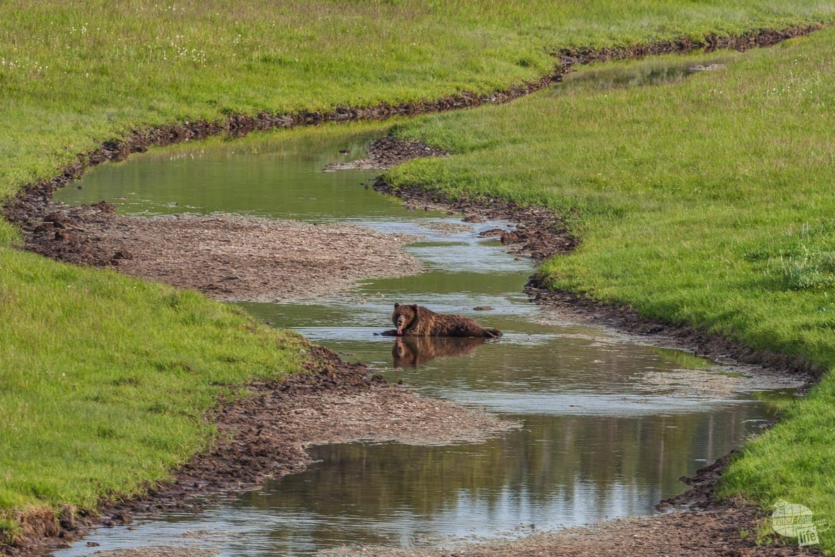 A grizzly cooling off in the creek on a hot day.