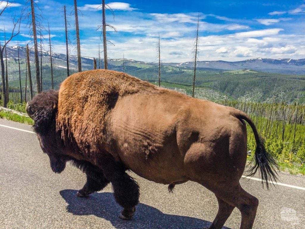 Passing the bison on the way up to Dunraven Pass.