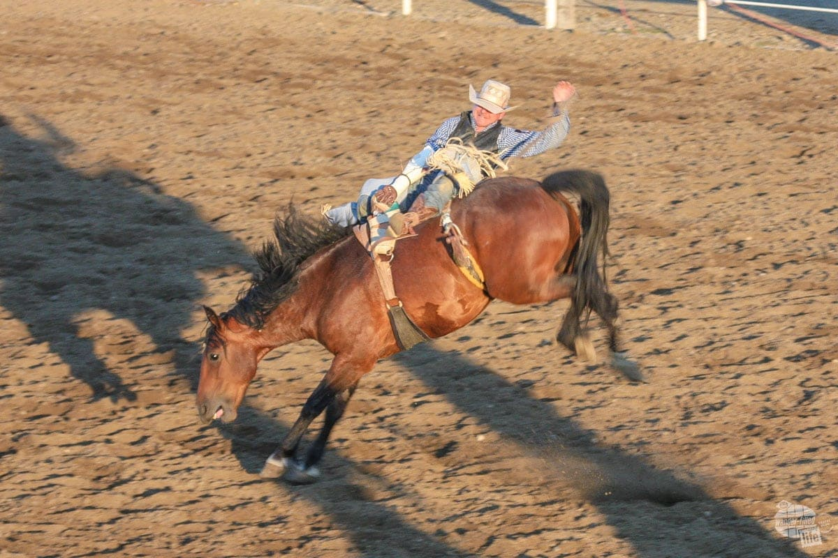 Bronc Riding at the Cody Stampede