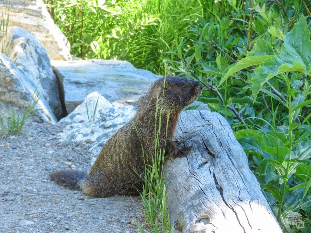 We met the world's friendliest marmot along the Jenny Lake Loop.