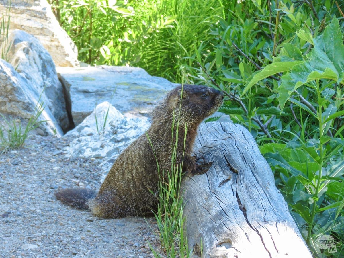 We met the world's friendliest marmot along the Jenny Lake Loop.