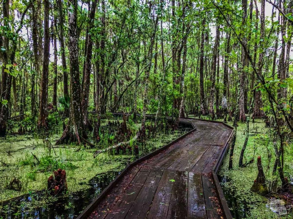 The boardwalk winding through the swamp.