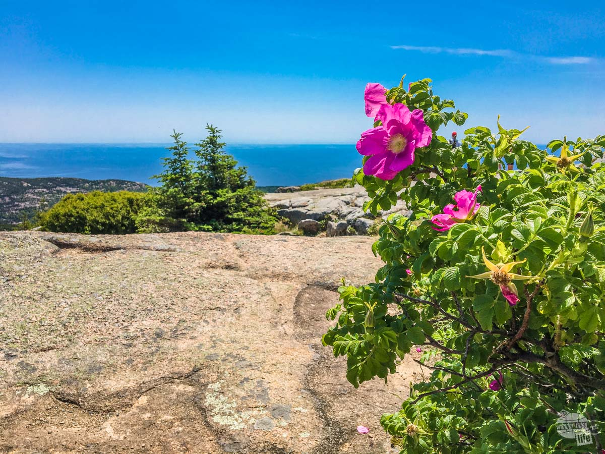 Flowers atop Cadillac Mountain.