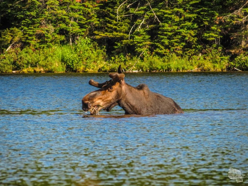 A bull moose hanging out in Sandy Stream Pond in Baxter State Park.