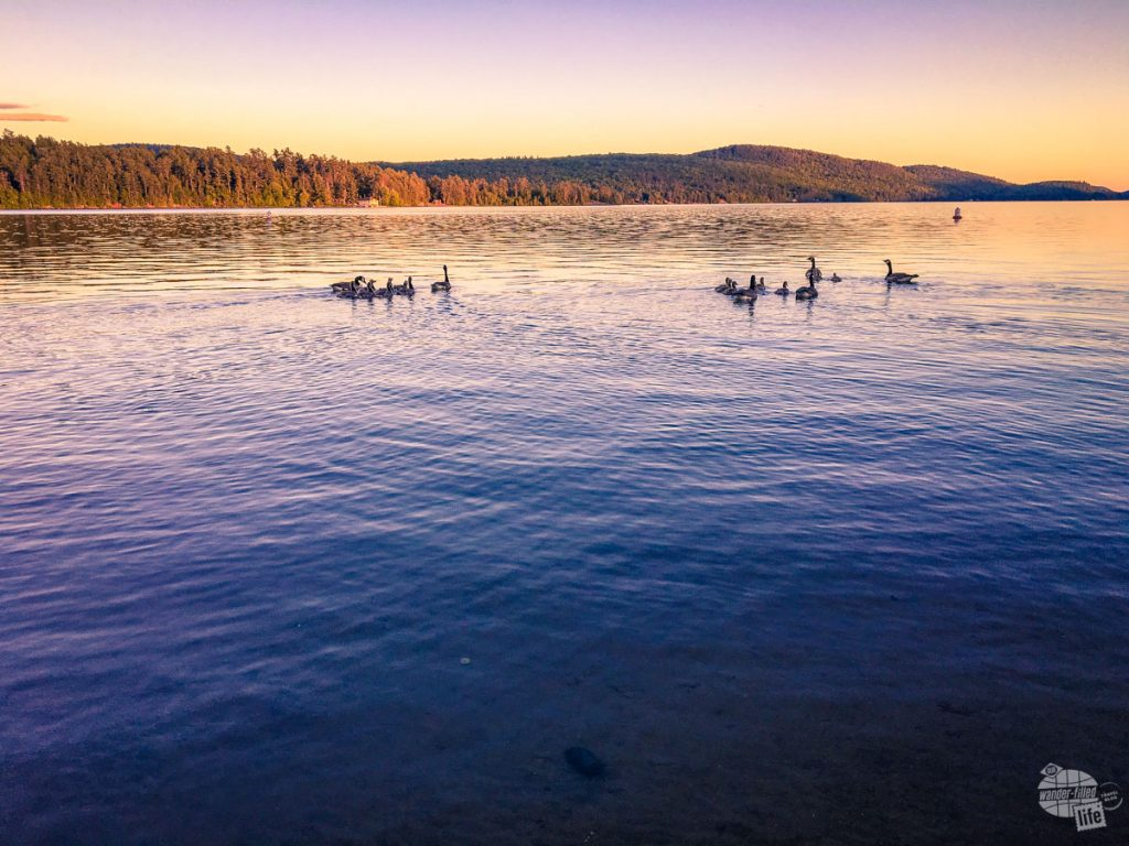 Ducks on Schroon Lake in the Adirondacks