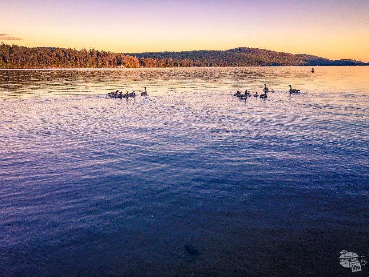 Ducks on Schroon Lake in the Adirondacks