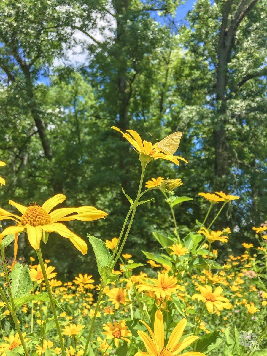 Some wildflowers growing at Gettysburg