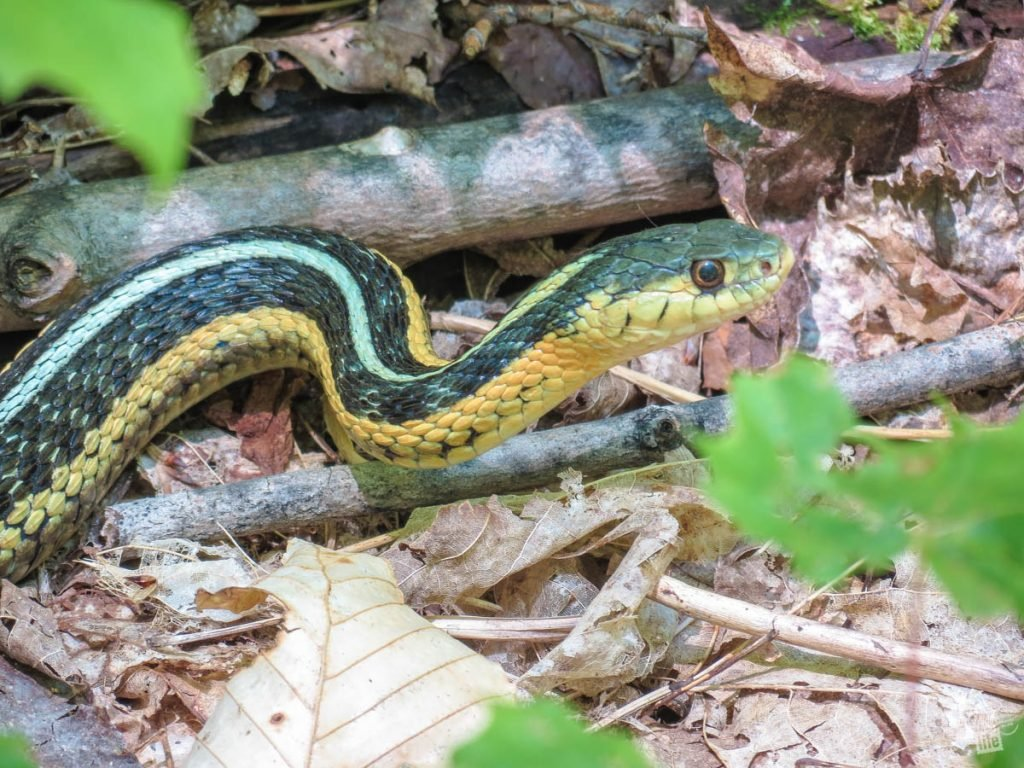 A Butler's Garter Snake with green, black and yellow stripes.