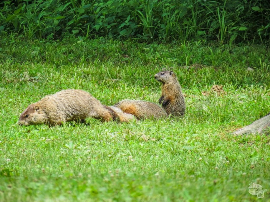 Groundhog family at Lincoln State Park.