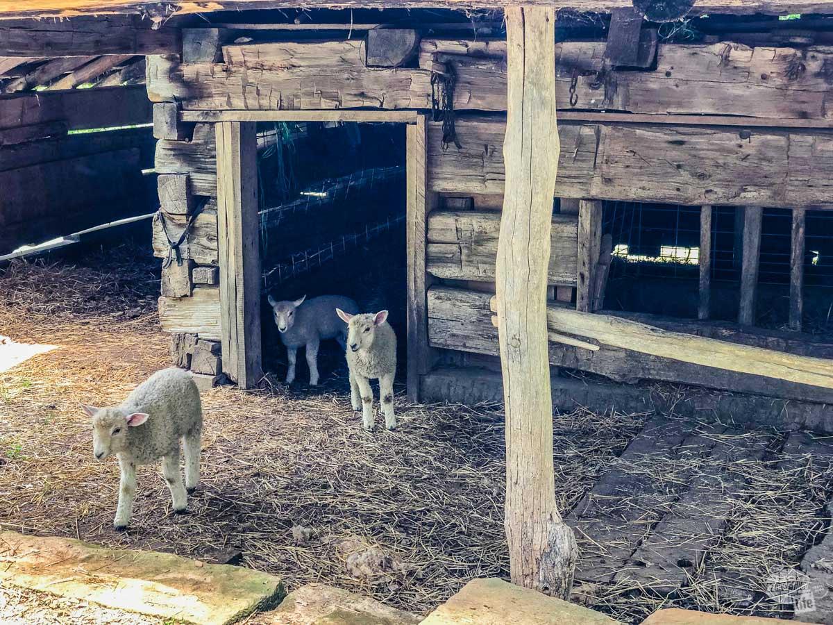 Lambs kept at the Living History Farm at the Lincoln Boyhood National Memorial.