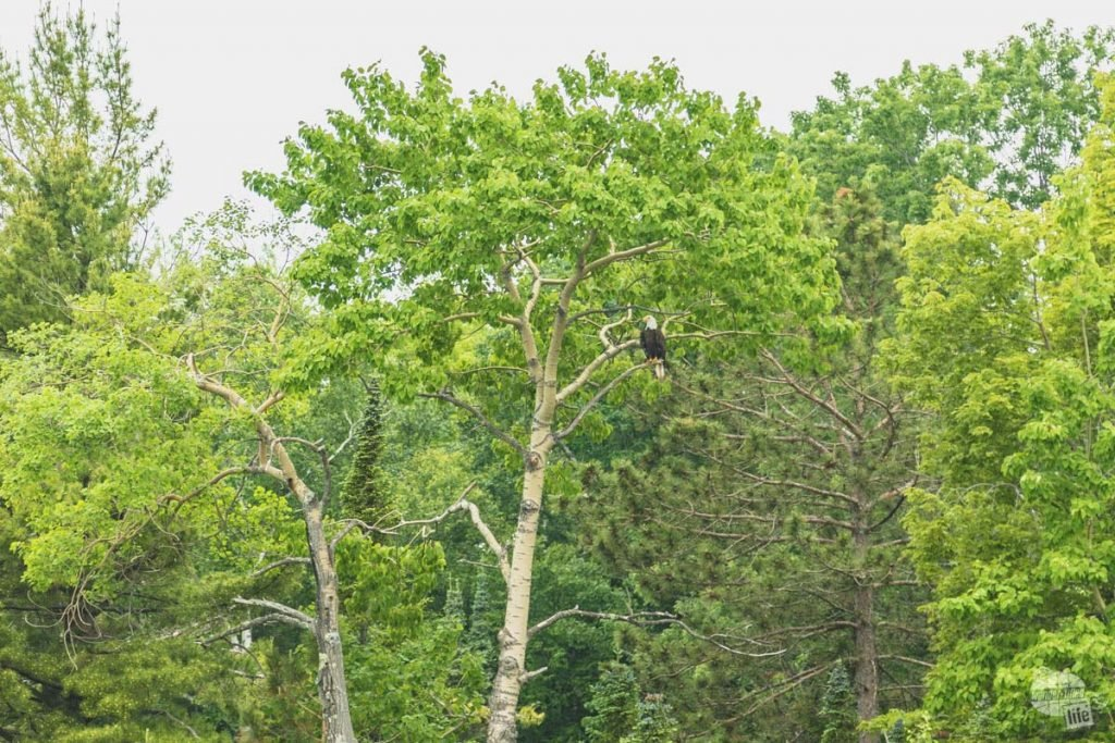 One of many bald eagles which nest in Apostle Islands National Lakeshore.