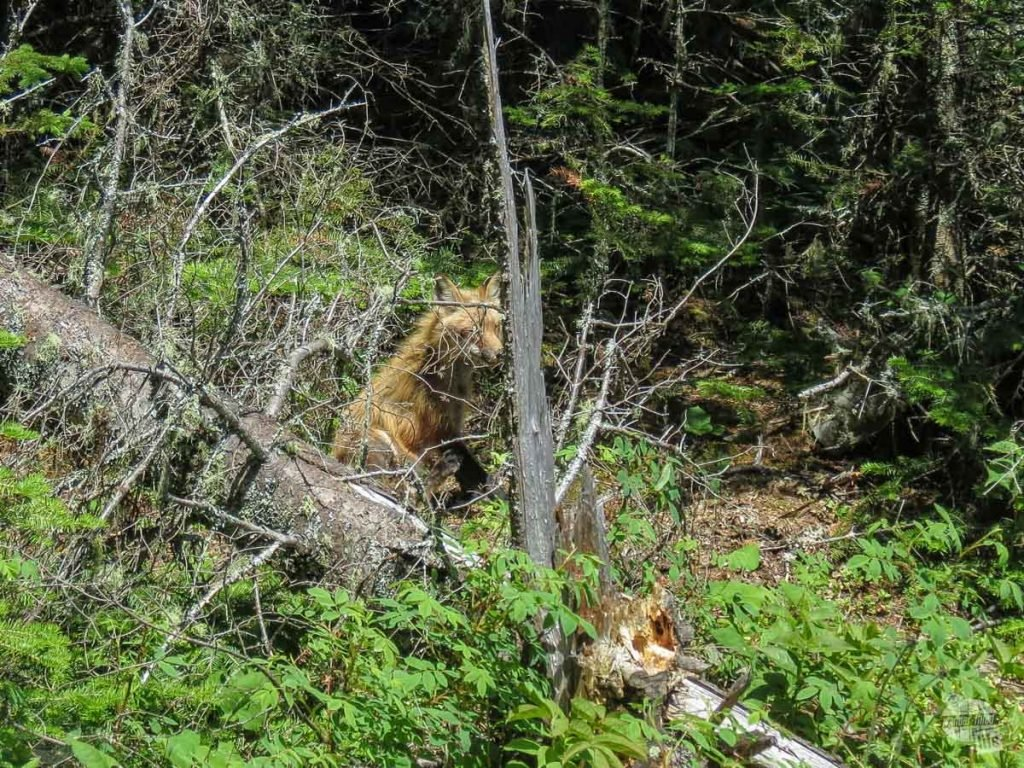 Spotted this red fox along the trail.