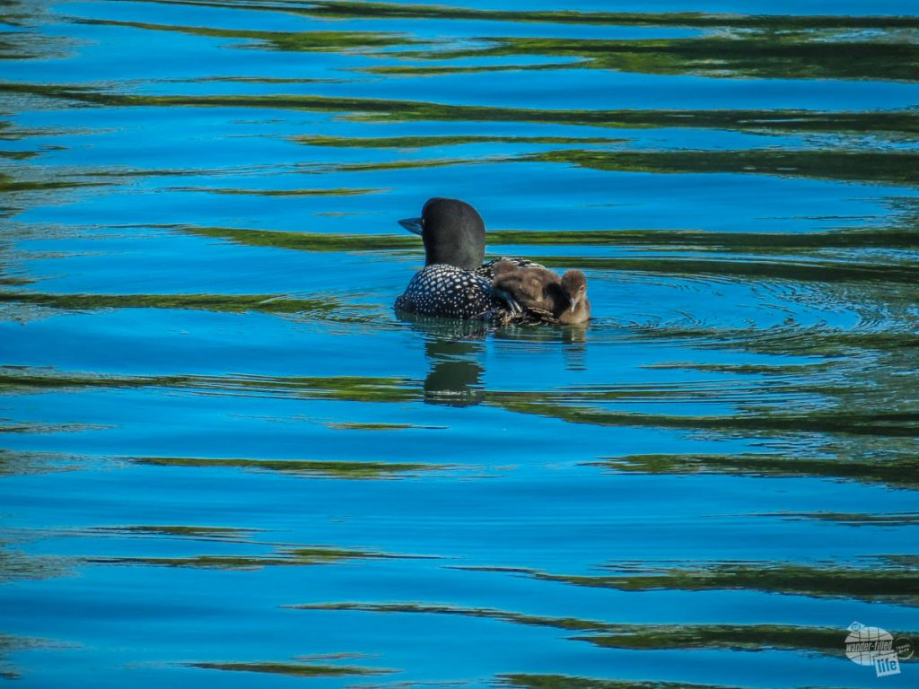 Spotted this loon with its chick resting on its back.