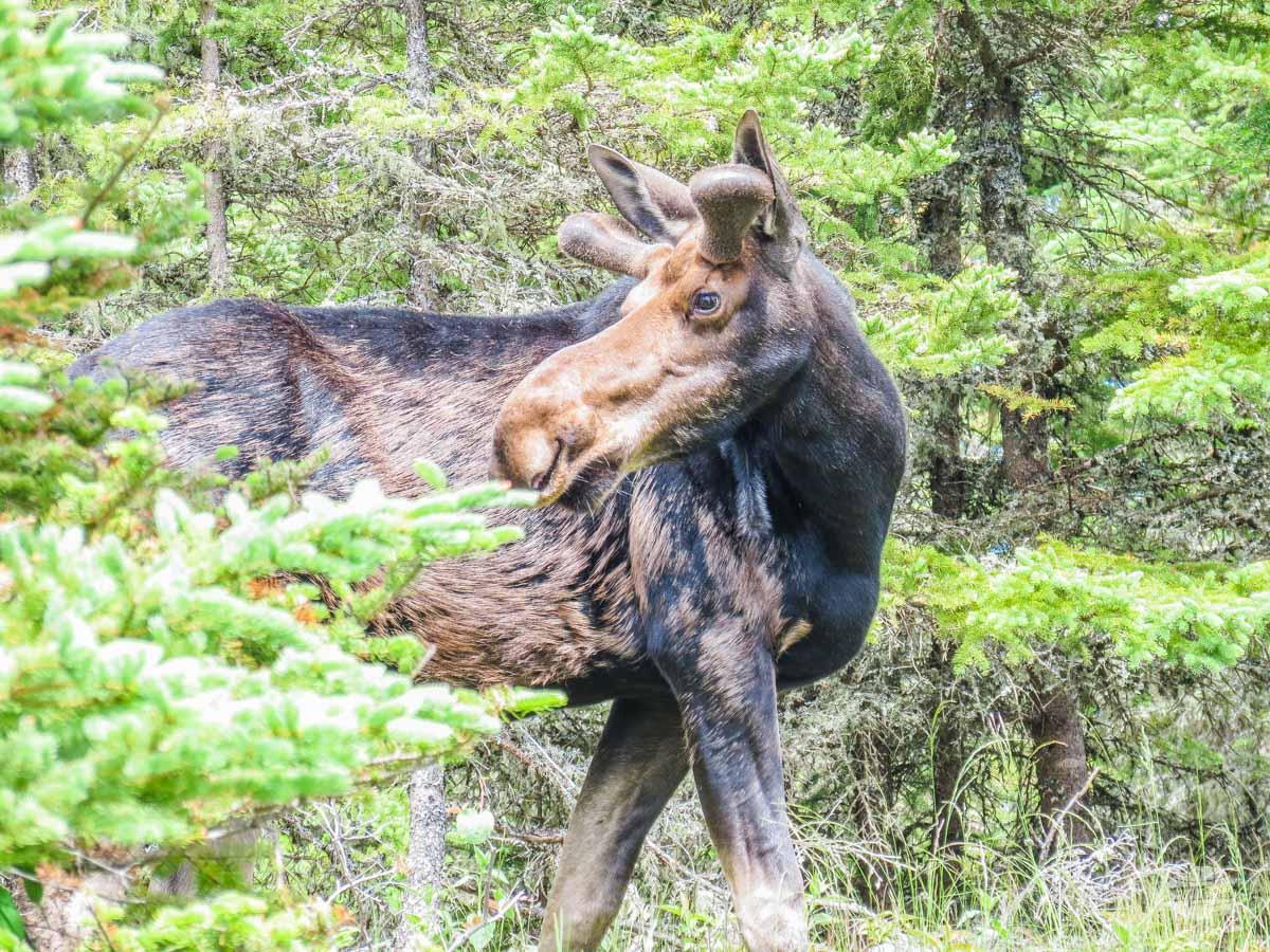 Moose near Rock Harbor Lodge at Isle Royale National Park.