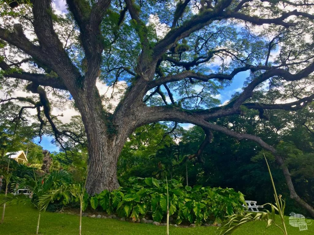 A 350-year-old Saman Tree on the grounds of Romney Manor on Saint Kitts.