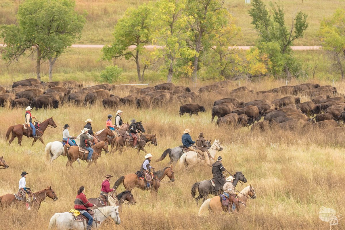The wranglers drive the bison into the corrals during the Buffalo Round-Up at Custer State Park.