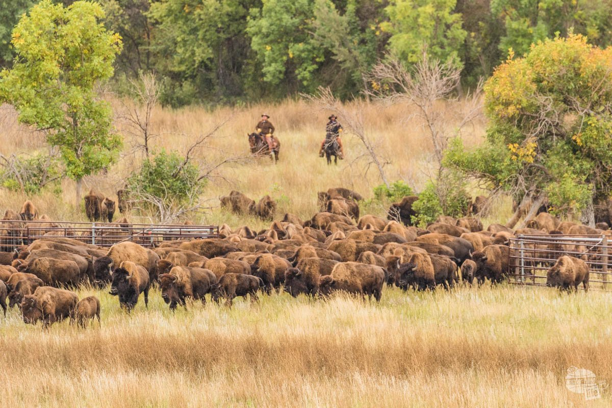 Wranglers drive the Custer State Park bison herd into the pasture during the annual Bison Roundup.