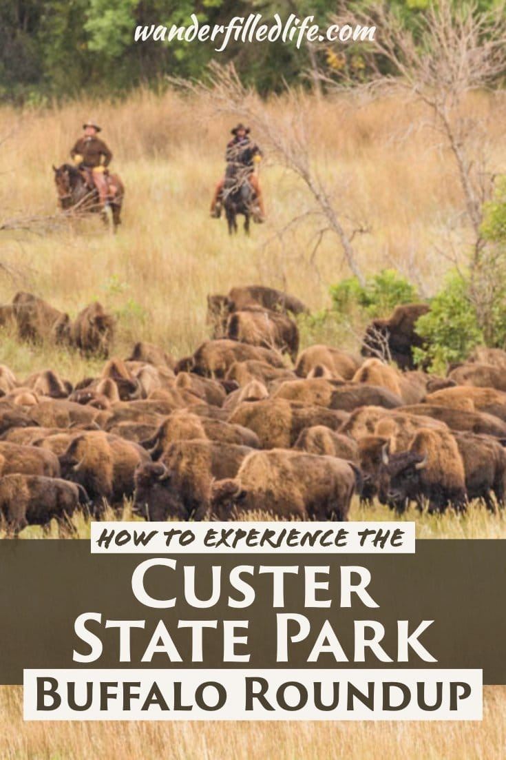 The Custer State Park Buffalo Roundup in South Dakota's Black Hills is one of the most unique events in all of America and more than worth the trip.