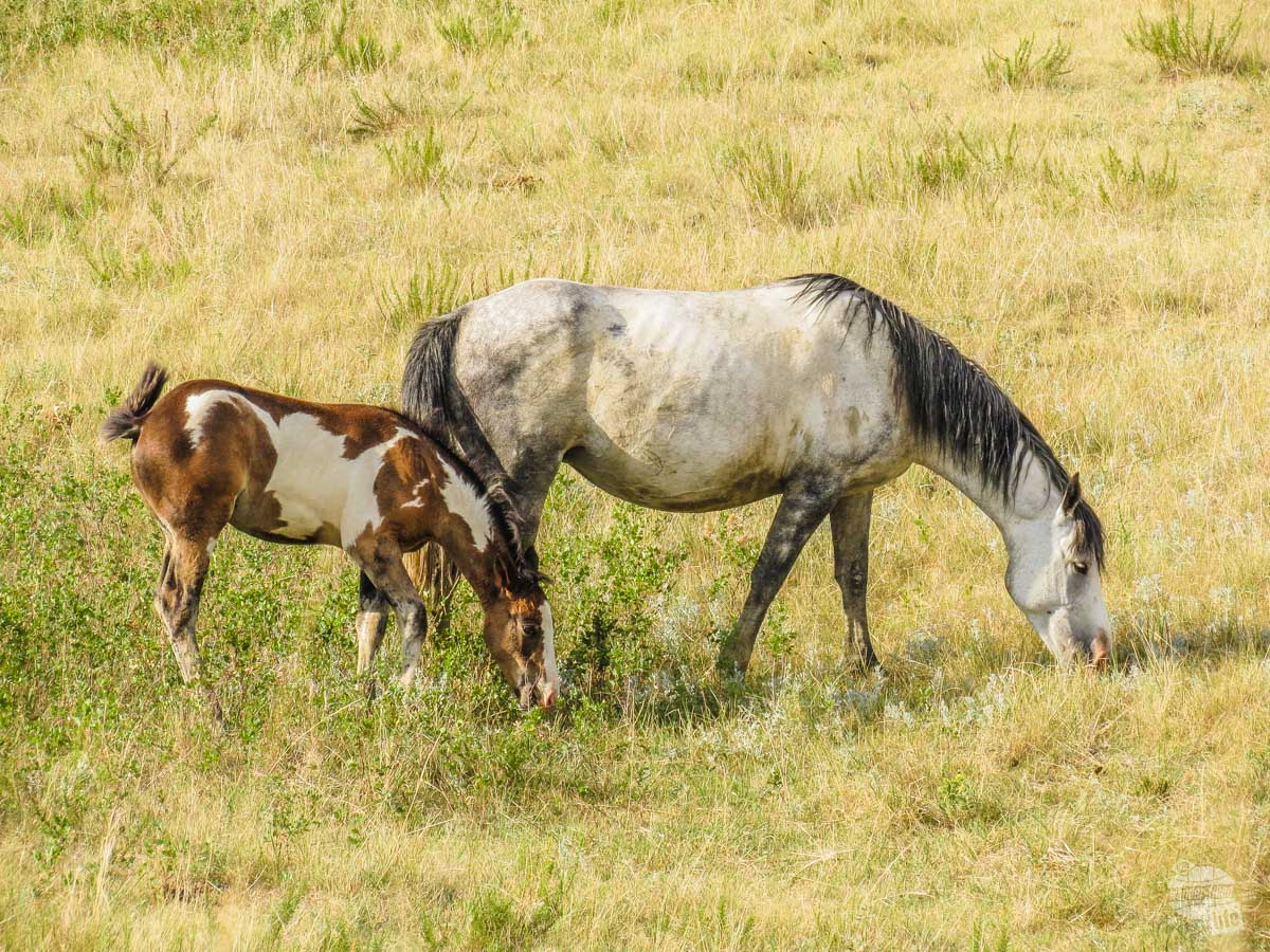 Wild horses grazing in Theodore Roosevelt National Park.
