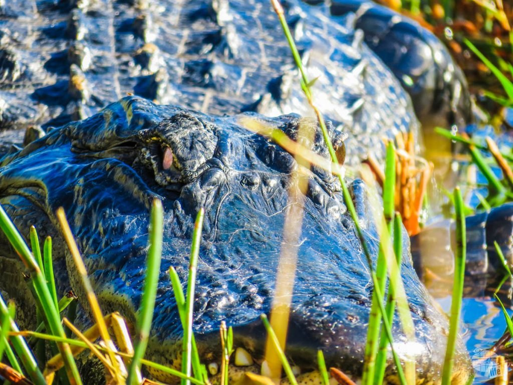 An alligator up close and personal from the airboat