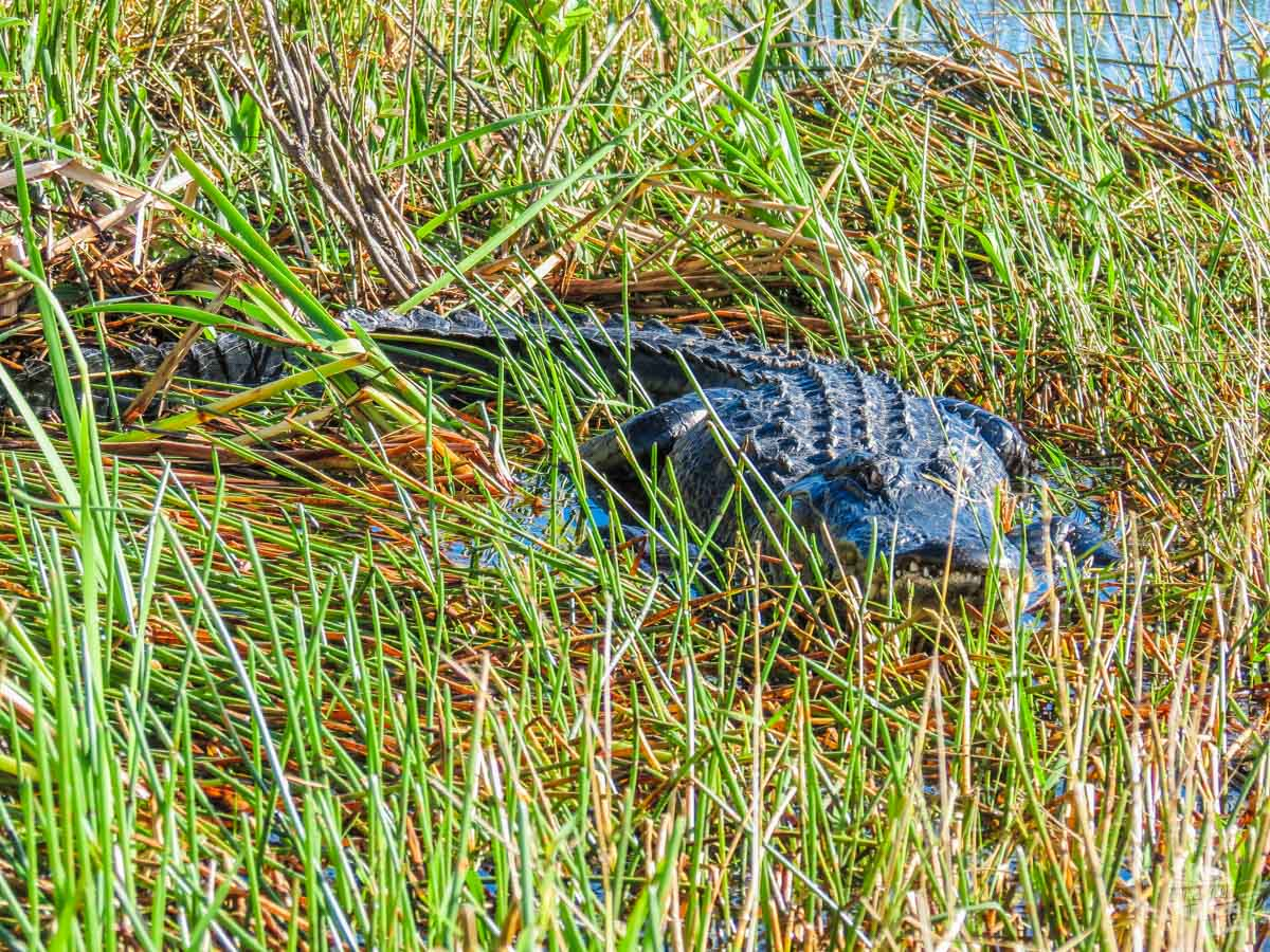 Checking out a gator from the airboat.